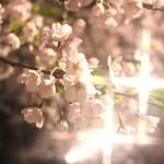夜桜が見ごろ♪