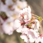 桜吹雪の中で