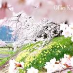 """桜満開 ~小京都""""角館""""でお花見~"""